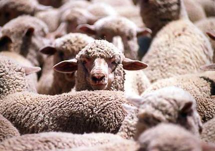 kako-brzo-ovci-raste-vuna