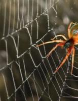 Kako pauci pletu mrežu?