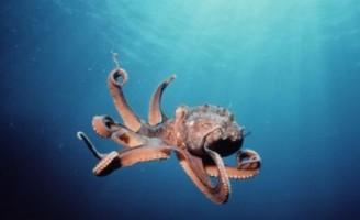 Kako se kreće hobotnica?