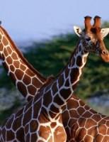 Kako se žirafe glasaju?