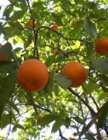 Kako zasaditi stablo naranče?