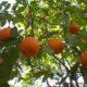 kako-zasaditi-stablo-narance