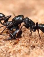 Kako žive mravi?