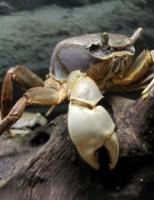 Kako rastu morski rakovi?
