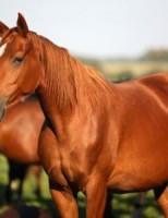 Kako su konji pripitomljeni?