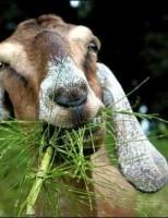 Kako se koze hrane?