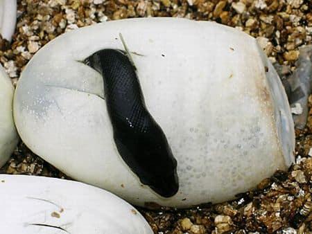 kako-zmije-polazu-jaja