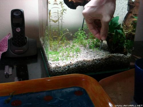 sadnja biljke pinceta