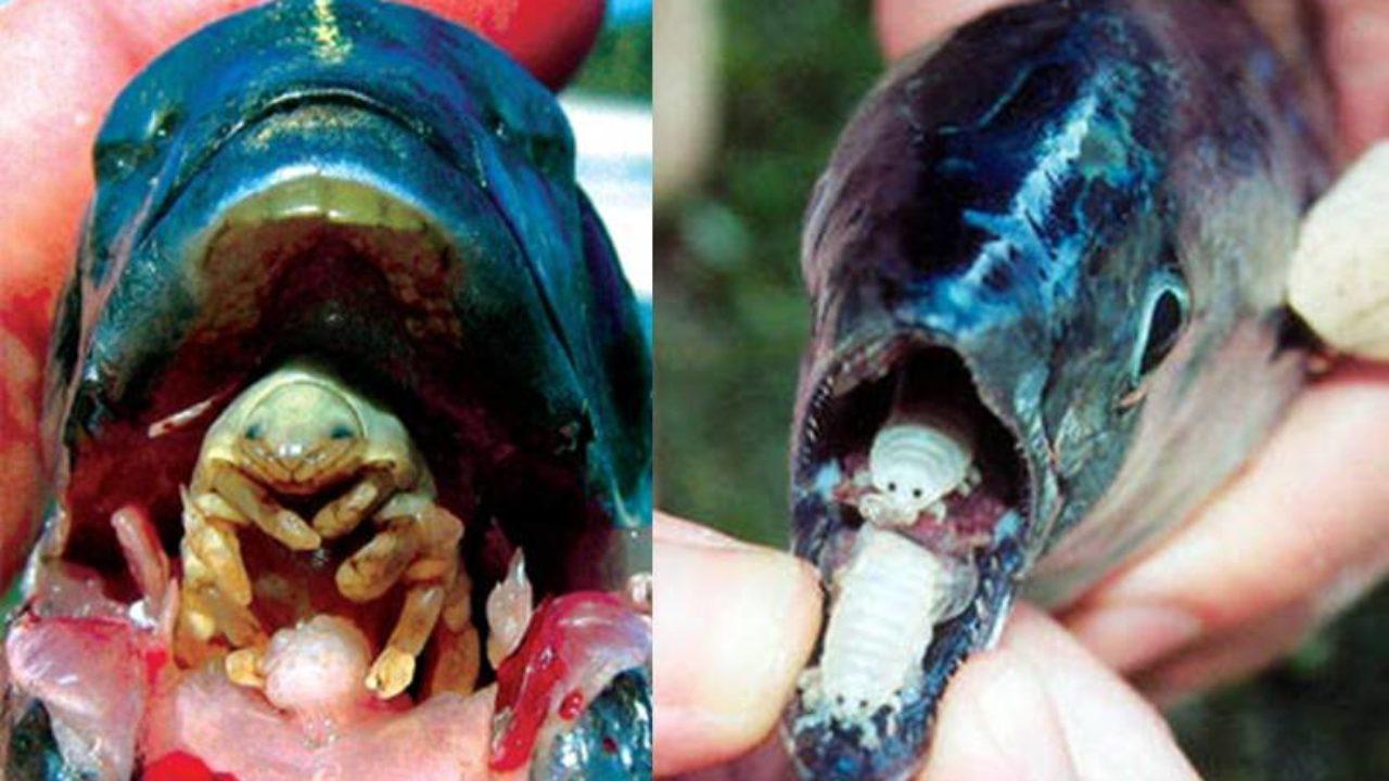 Paraziti u ribama, Paraziti pri ribah - in2constient.ro, Parazit riba
