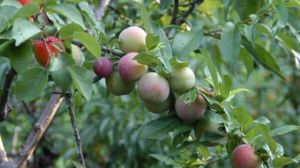 Stablo s raznim voćem