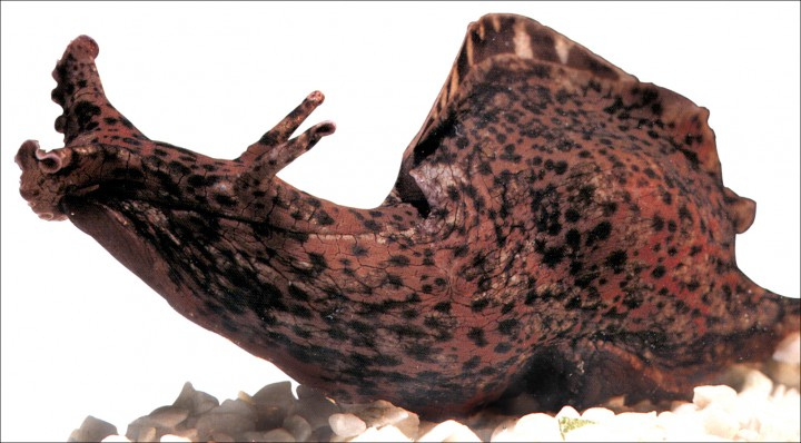 morski-zekan