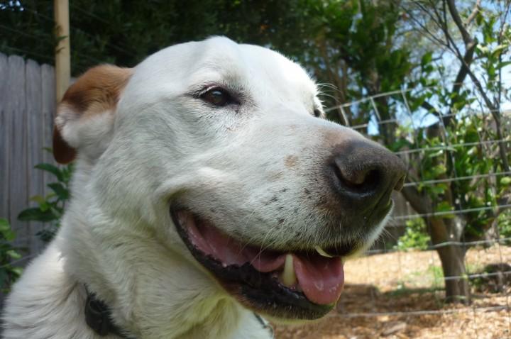 Psi su pripitomljeni tisuće godina prije nego što se to do sad mislilo (Credit: Wikimedia.org)
