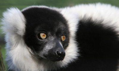 Crno-bijeli lemur. (Credit: tomalin wildviews)