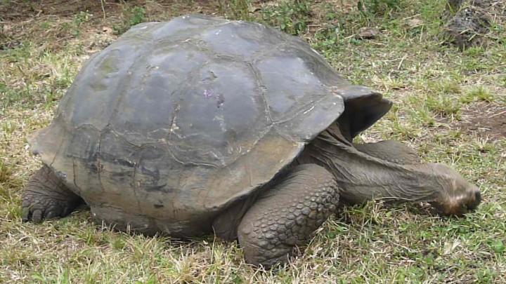 Kornjača s Galapagosa. (Credit: Wikimedia)