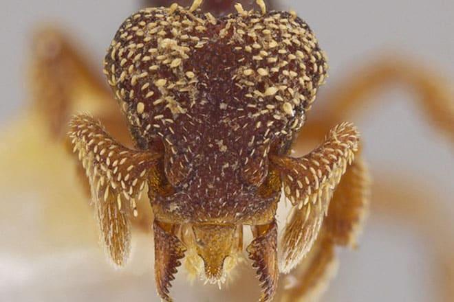 Eurhopalothrix zipacna, mikroskopski povećan prikaz (Credit: John T. Longino)