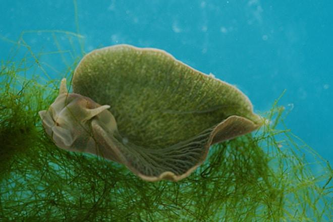 zeleni-morski-puz