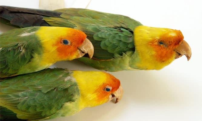 papagaj-caroline