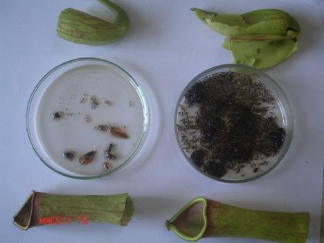 Količina kukaca uhvaćena u periodu od deset dana od strane velike biljke s UV maskom (lijevo) i normalnom biljkom (desno)