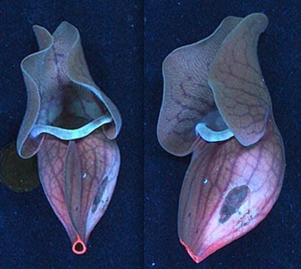 Sarracenia purpurea, biljka mesožderka koja živi u Istočnom SAD-u, također svijetli pod UV svjetlom.
