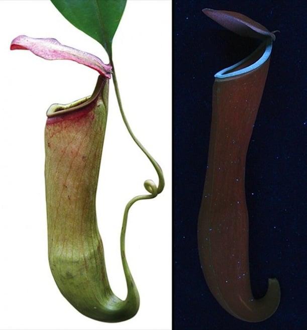 Visoke biljke ispod normalnog svijetla (lijevo) i UV svijetla (desno)