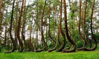 zakrivljena stabla