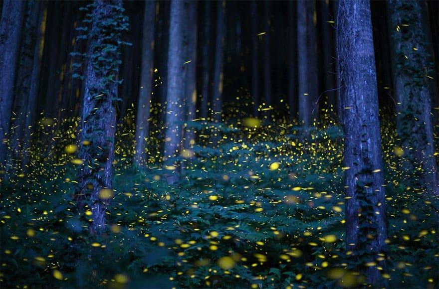 Krijesnice u Japanu
