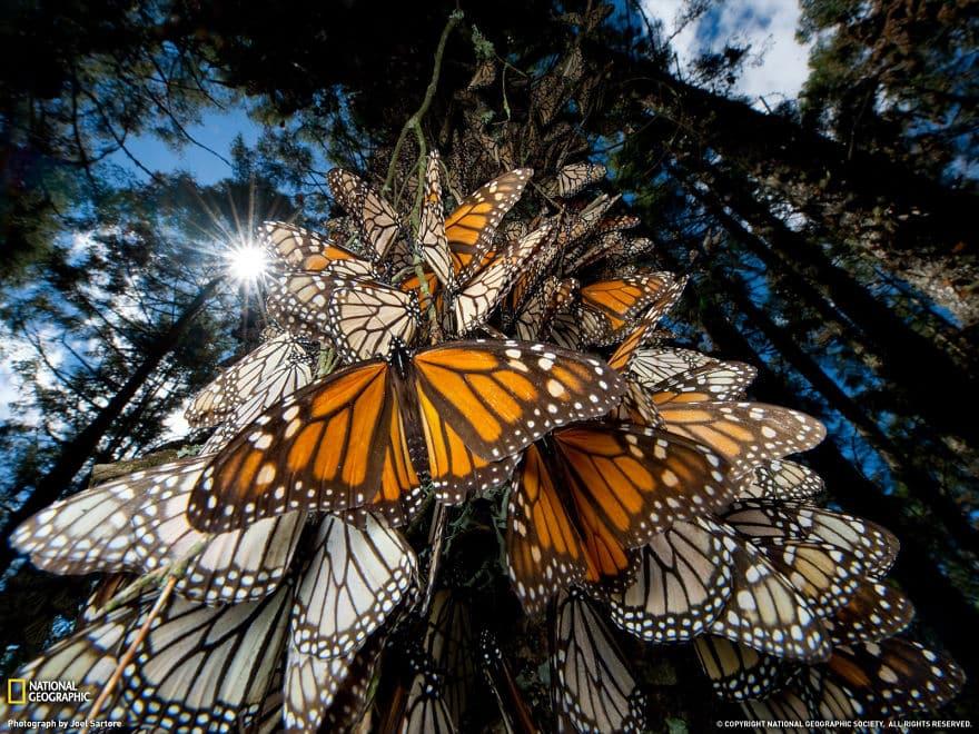 Leptiri monarhi u Meksiku