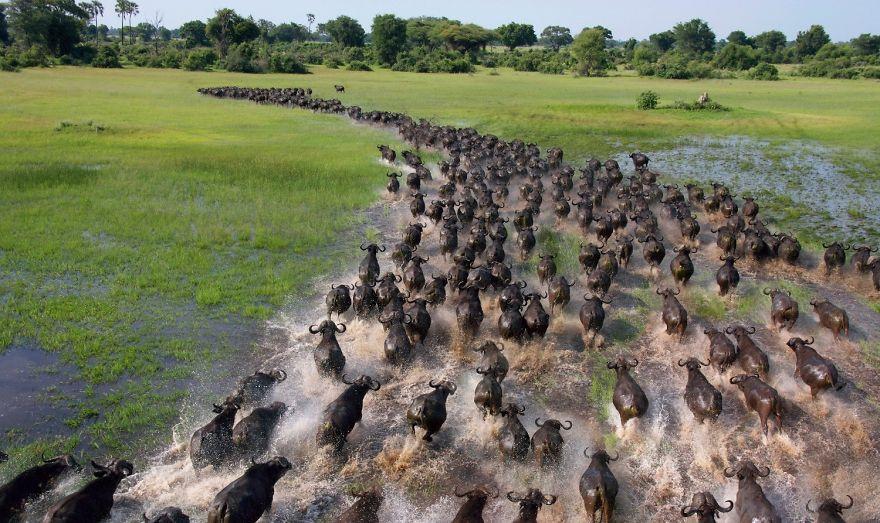 Afrički bizoni