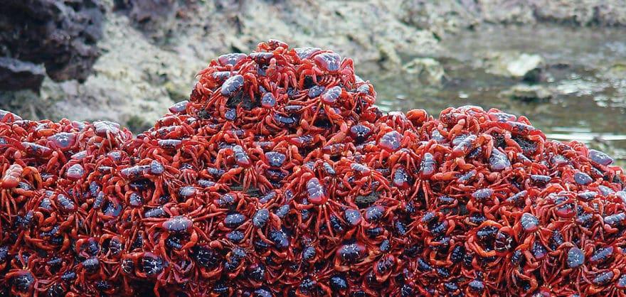 Crveni rakovi na Božićnom otoku