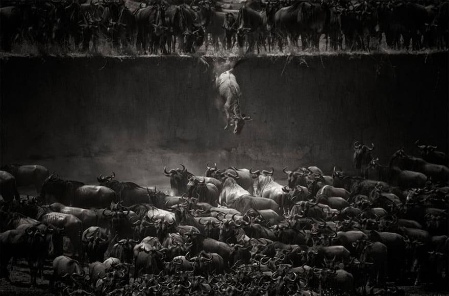 Gnu, Serengeti