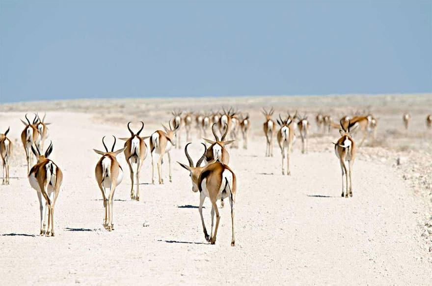 Južnoafričke antilope u Namibiji
