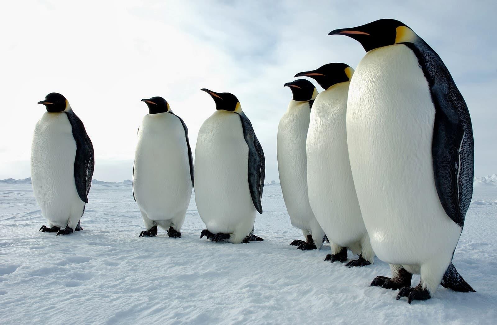 emperor-penguin1