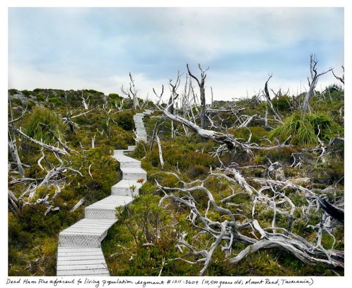 Tasmanijski Huon bor (Image credits: Rachel Sussman)