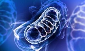 mitochodria (1)