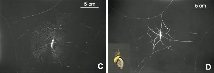 C: Normalna mreža pauka s parazitskim ličinkama. D: Mreža izmanipuliranog pauka. (Credit: Takasuka et al)