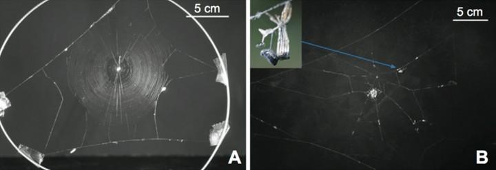 A: Normalna mreža. B: Mreža za odmaranje s presvučenim paukom izvan središta. (Credit: Takasuka et al)