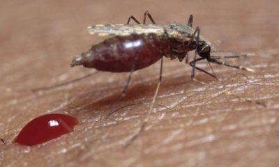 _87072338_z3410277-feeding_mosquito-spl