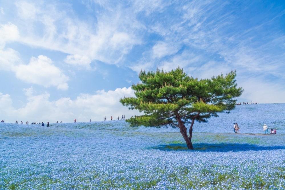 Plava livada u Japanu