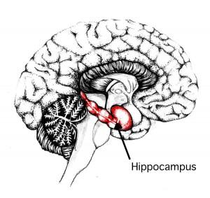 Hipokampus (FOTO: memorylossonline.com)