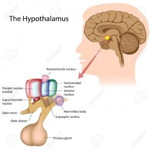 Sastavni dijelovi hipotalamusa (FOTO: 123rf.com)