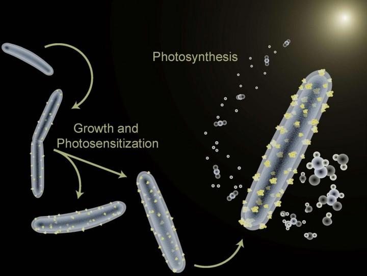 Proces umjetne fotosinteze postignut korištenjem bakterije M. thermoacetica (FOTO: Berkeley Lab)