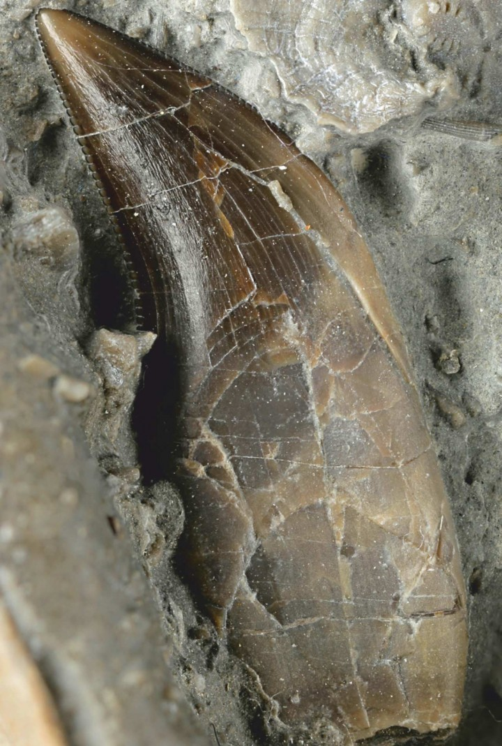 Zub Dracoraptor haniganija. FOTO: Martill D.M. et al.