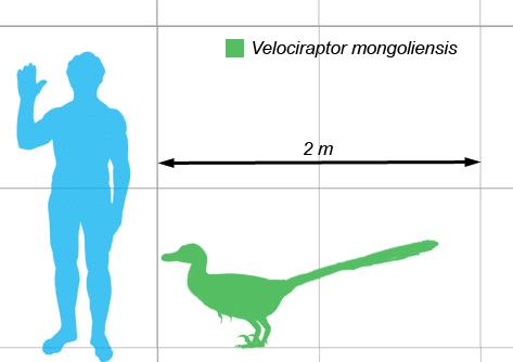 Usporedba veličine čovjeka i velociraptora (Credit: Wikipedia)