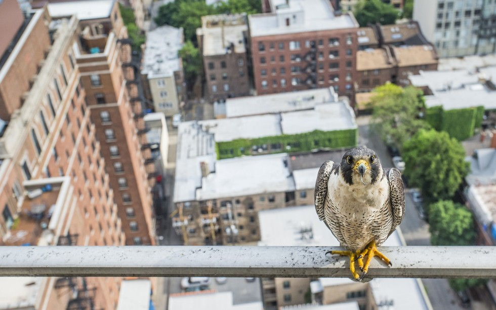 Sivi sokol najbrža je životinja na svijetu: u obrušavanju dostiže brzinu do 250 km/h. U američkoj saveznoj državi Illinois istrijebljen je u drugoj polovici prošlog stoljeća, no nekoliko desetljeća kasnije, pokušana je repopulacija tog područja. Ona je, čini se, uspjela, no sivi sokol više nema isključivo svoje prirodno stanište, nego se mora prilagođavati ljudima. Na ovoj fotografiji prikazana je jedna takva ptica u blizini svog gnijezda u središtu Chichaga. (Credit: Luke Massey)