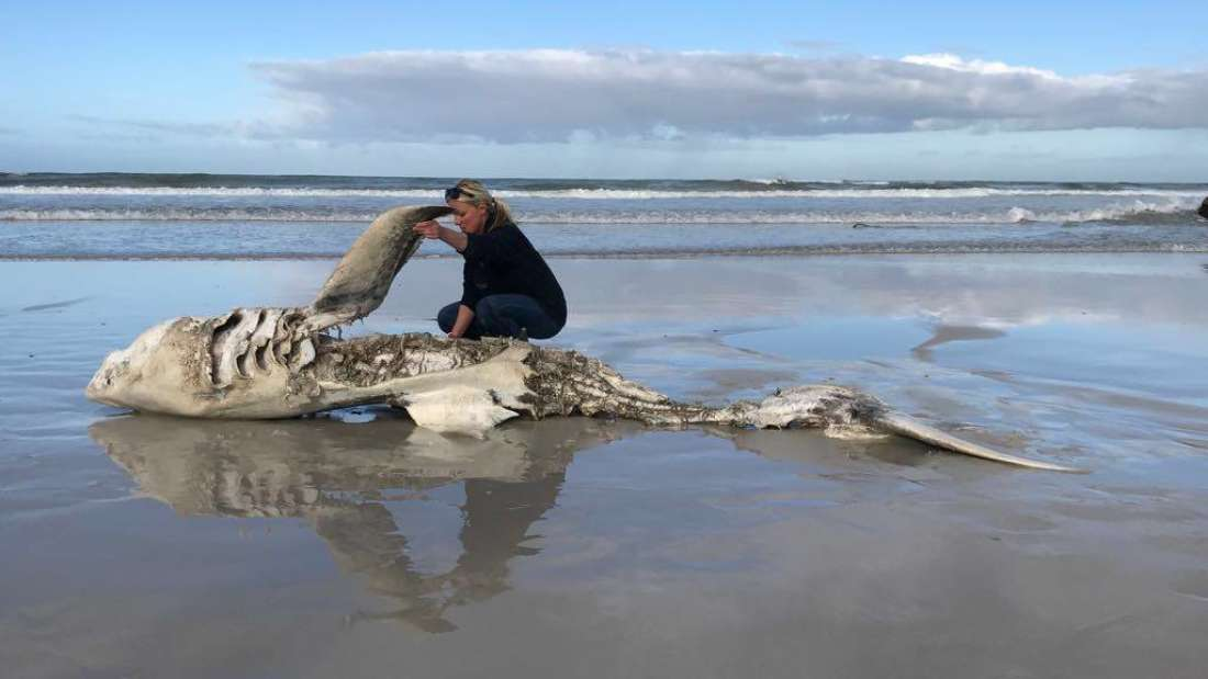 nizu se lesine morskih pasa bizarno uklonjenih organa