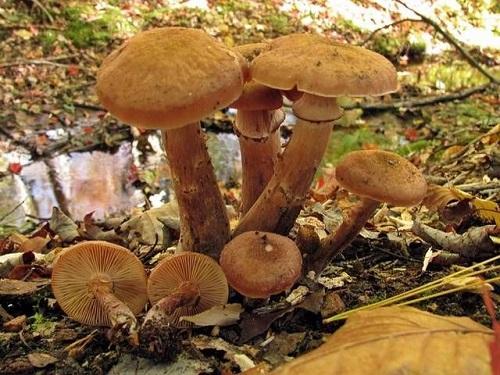 Armillaria solidipes (foto: EOL)