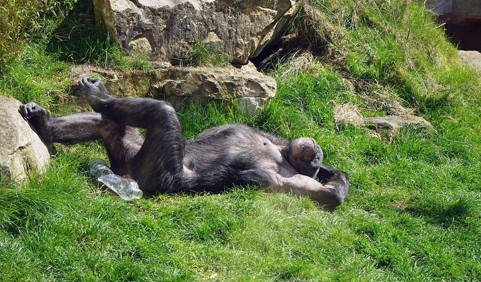 Čimpanze imaju čistije krevete nego što imaju ljudi