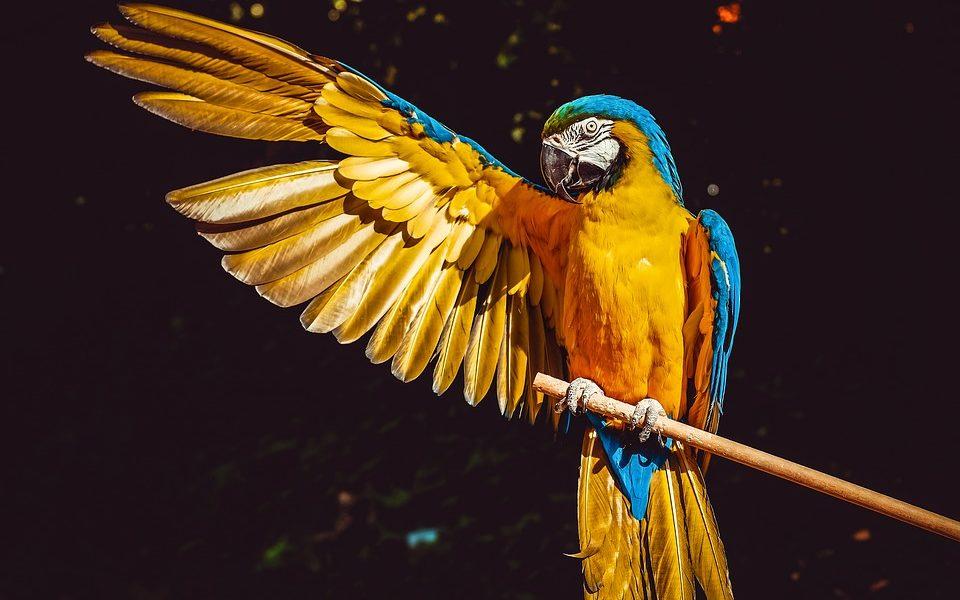 Modra ara službeno na popisu istrijebljenih ptičjih vrsta u divljini