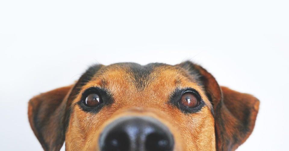 Psima su evoluirali mišići oko očiju zbog komunikacije s ljudima