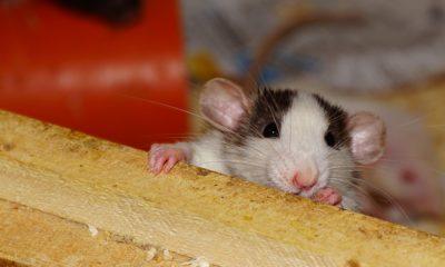 štakori